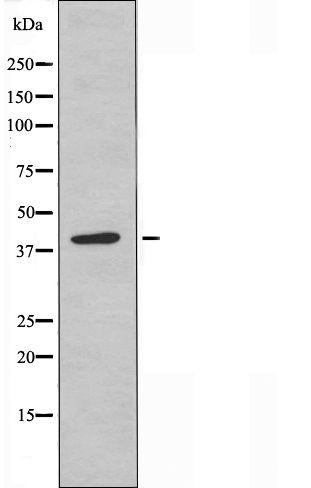 APOBEC3D/APOBEC3F Antibody in Western Blot (WB)