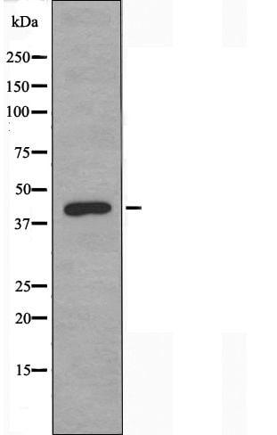 PRKX Antibody in Western Blot (WB)