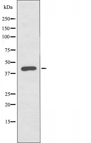 SERPINB7 Antibody in Western Blot (WB)