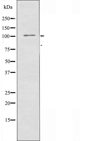 ATP1A2 Antibody in Western Blot (WB)