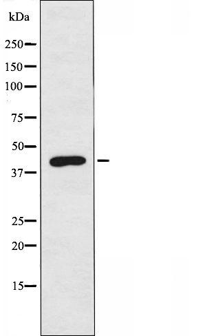 PSMD6 Antibody in Western Blot (WB)