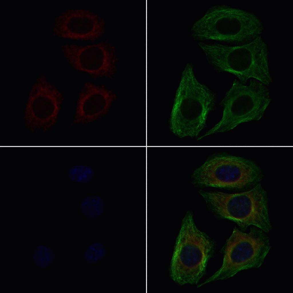 CSRL1 Antibody in Immunofluorescence (IF)
