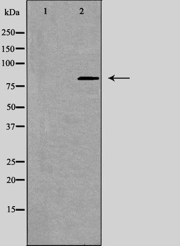 CSRL1 Antibody in Western Blot (WB)