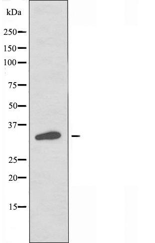OR2G2 Antibody in Western Blot (WB)