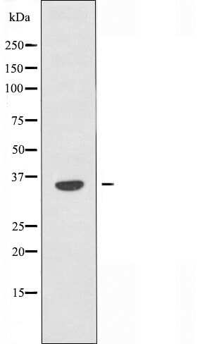 OR6C2 Antibody in Western Blot (WB)