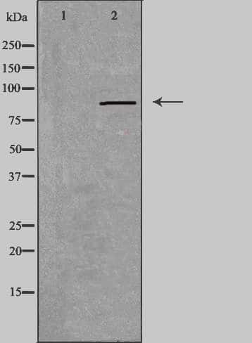 RXFP2 Antibody in Western Blot (WB)