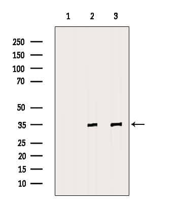 Fibrillarin Antibody in Western Blot (WB)