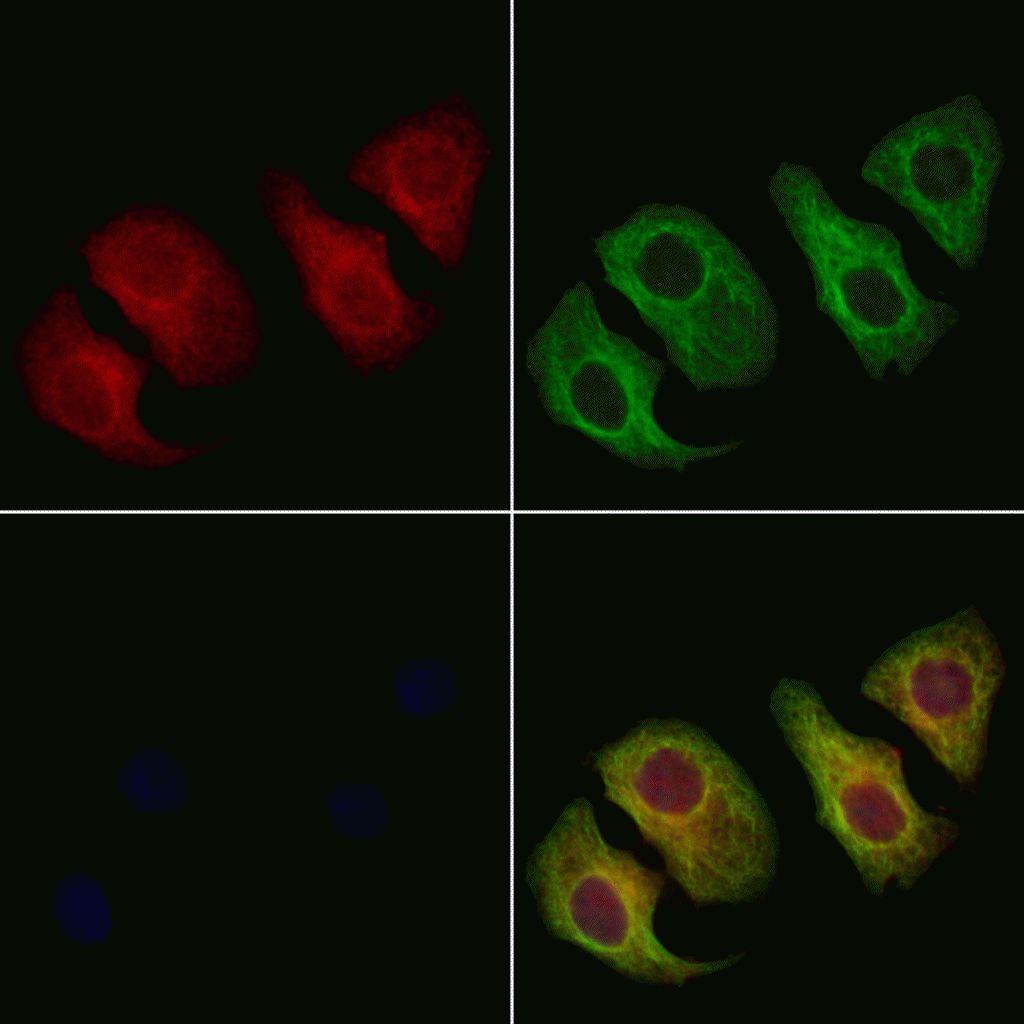 SMPD2 Antibody in Immunofluorescence (IF)