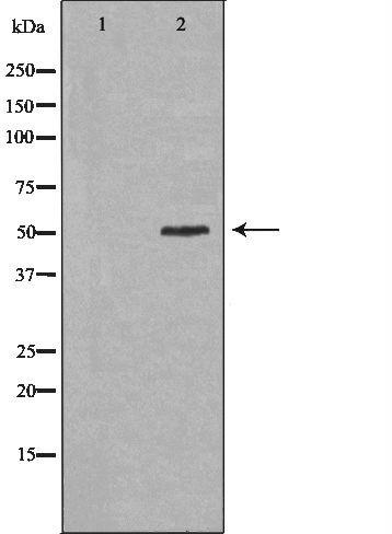 PAH Antibody in Western Blot (WB)