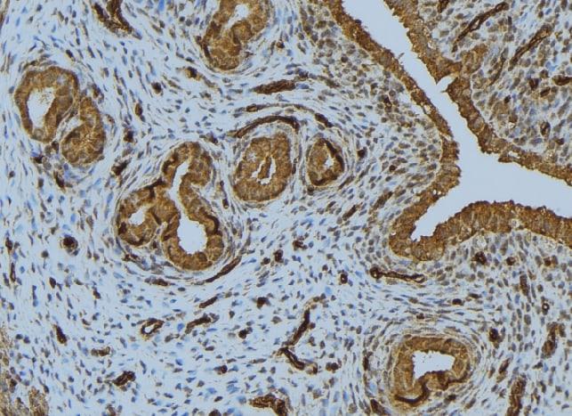 IFN beta Antibody in Immunohistochemistry (Paraffin) (IHC (P))