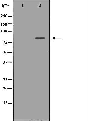 MCAK Antibody in Western Blot (WB)