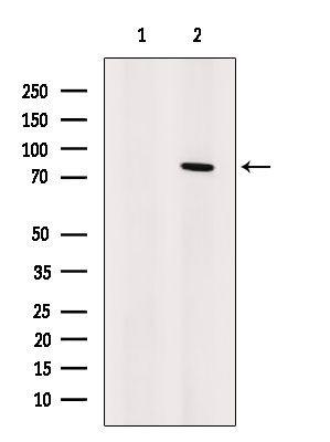 Artemis Antibody in Western Blot (WB)