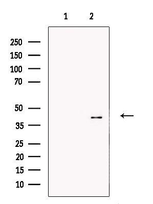 CREM Antibody in Western Blot (WB)