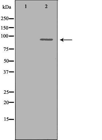 OCA2 Antibody in Western Blot (WB)