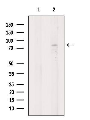 DVL1 Antibody in Western Blot (WB)