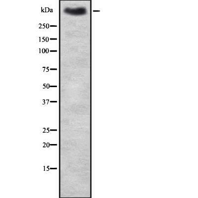 MUC2 Antibody in Western Blot (WB)