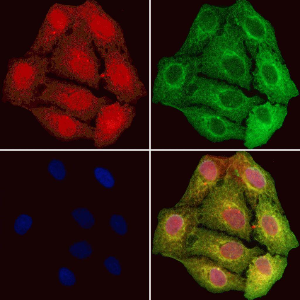 GCLC Antibody in Immunofluorescence (IF)