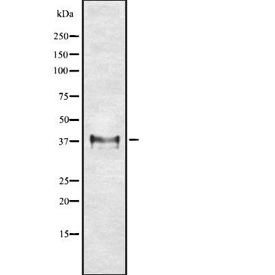 HLA-G Antibody in Western Blot (WB)