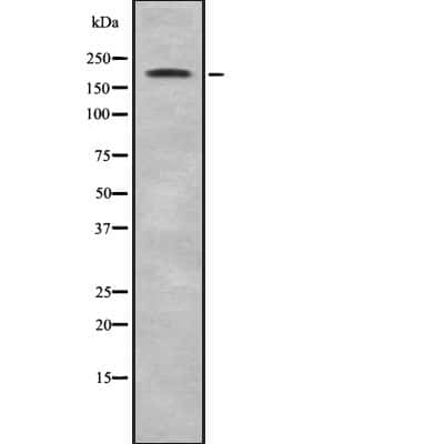 ZNF106 Antibody in Western Blot (WB)
