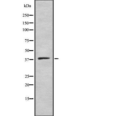 ELAVL2/ELAVL4 Antibody in Western Blot (WB)
