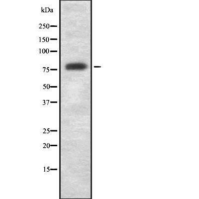 GAS6 Antibody in Western Blot (WB)