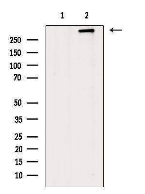 Dystrophin Antibody in Western Blot (WB)
