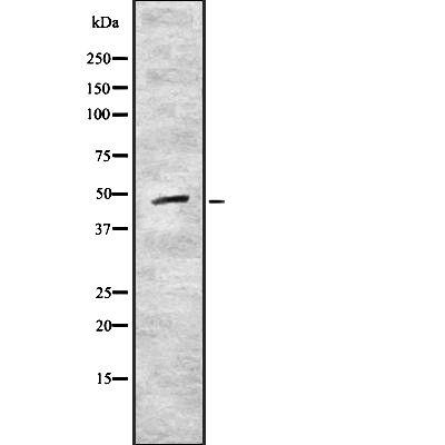 CRLF1 Antibody in Western Blot (WB)