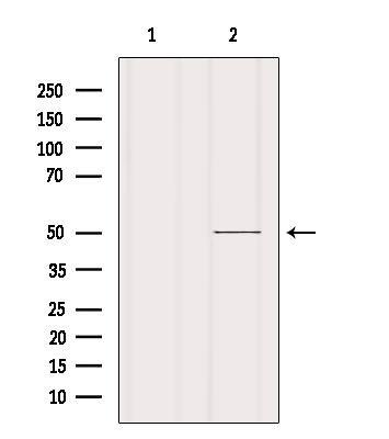CRLF3 Antibody in Western Blot (WB)