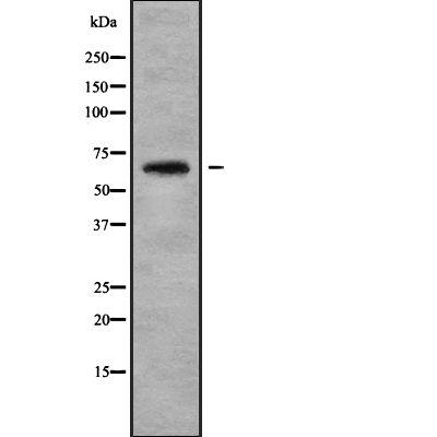 ARSJ Antibody in Western Blot (WB)