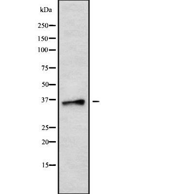 SSEA3 Antibody in Western Blot (WB)