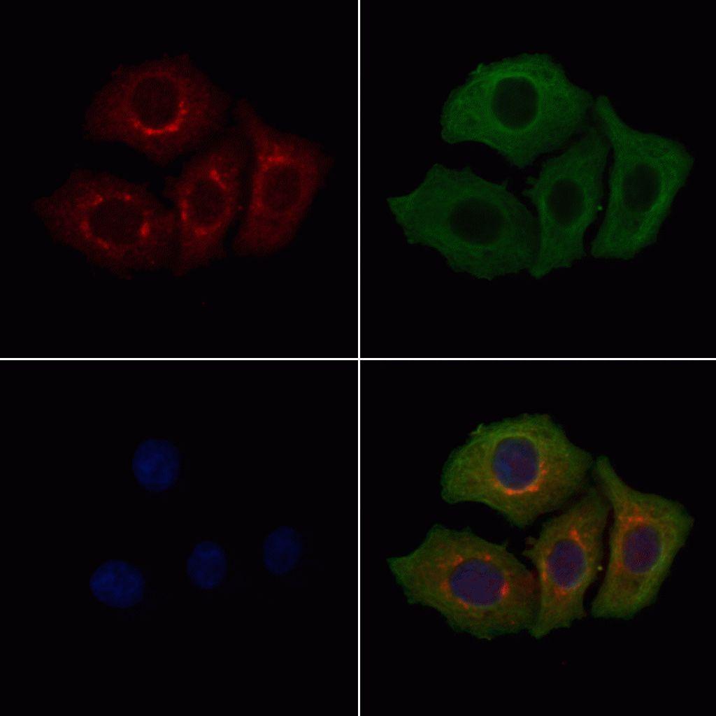 Calponin 3 Antibody in Immunofluorescence (IF)