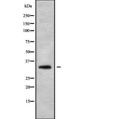 HOXA1/HOXB1/HOXD1 Antibody in Western Blot (WB)