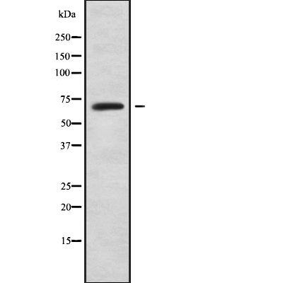 LILRB2 Antibody in Western Blot (WB)