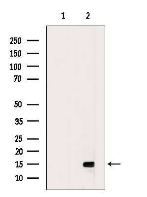 CCL16 Antibody in Western Blot (WB)