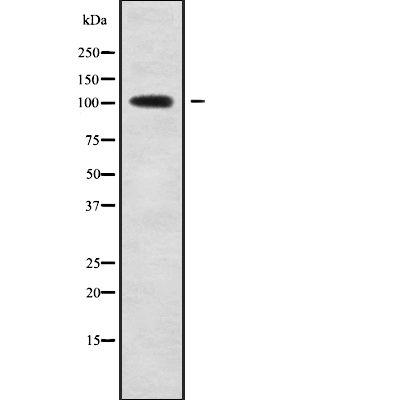 SLC8A1 Antibody in Western Blot (WB)