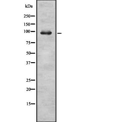 RASGAP Antibody in Western Blot (WB)