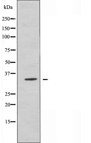 OR2AG1/OR2AG2 Antibody in Western Blot (WB)