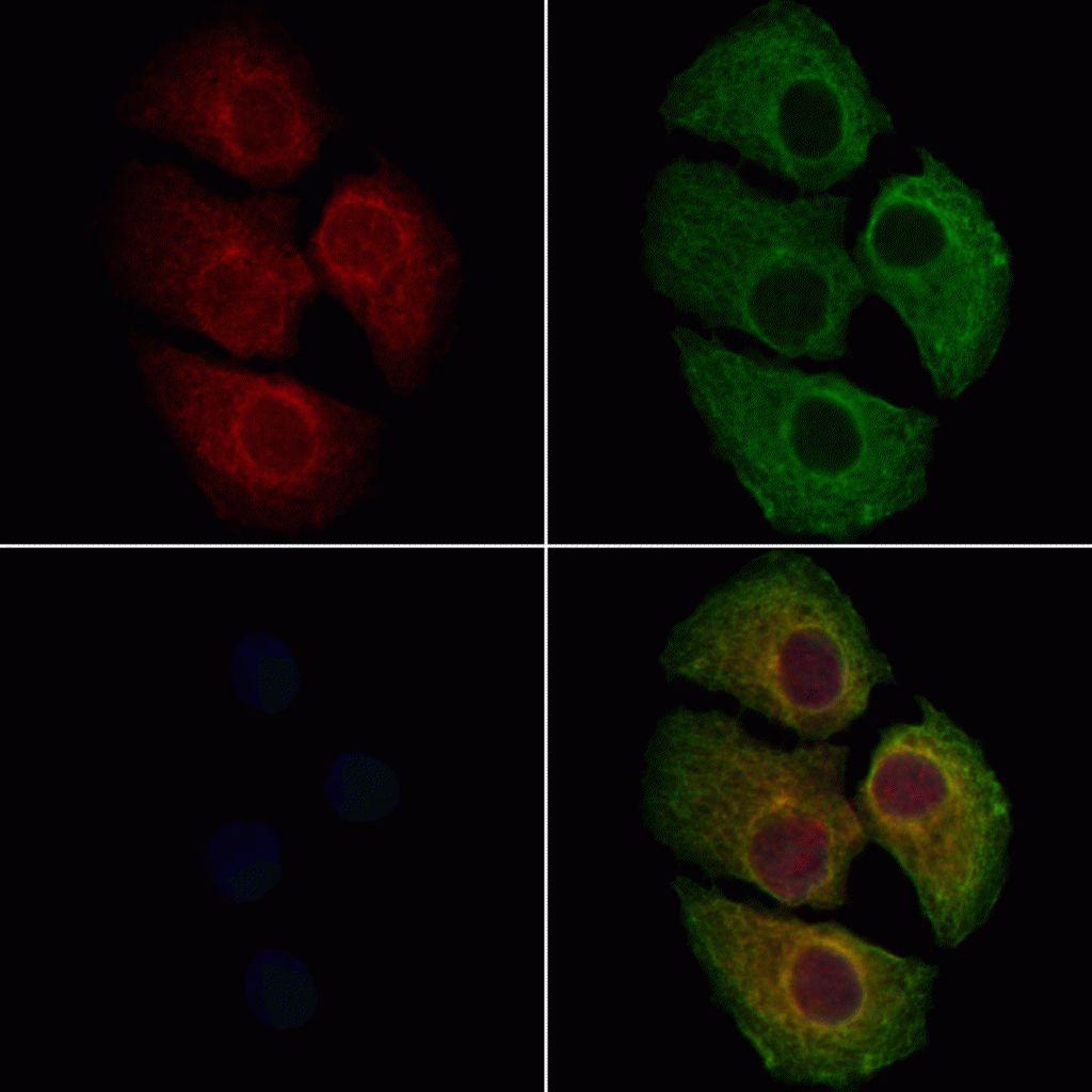 HCN3 Antibody in Immunofluorescence (IF)