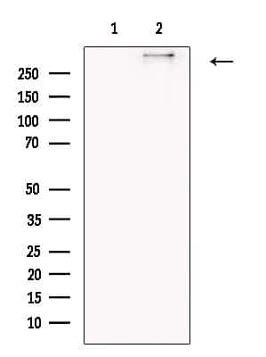 COL12A1 Antibody in Western Blot (WB)
