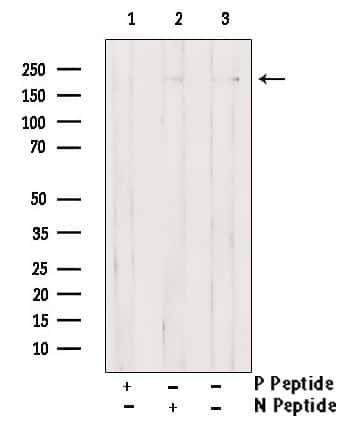 Phospho-Afadin (Ser1799) Antibody in Western Blot (WB)