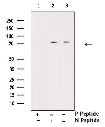 Phospho-C-RAF (Ser296) Antibody in Western Blot (WB)