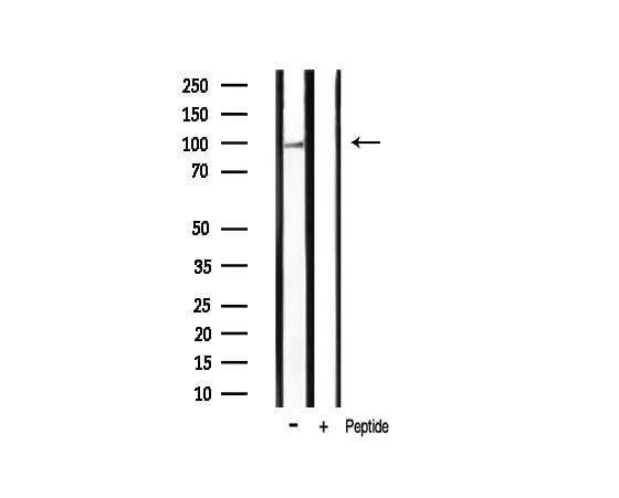 Phospho-HSP90 (Ser254) Antibody in Western Blot (WB)