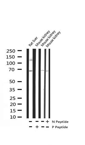 Phospho-p70 S6 Kinase (Ser371) Antibody in Western Blot (WB)