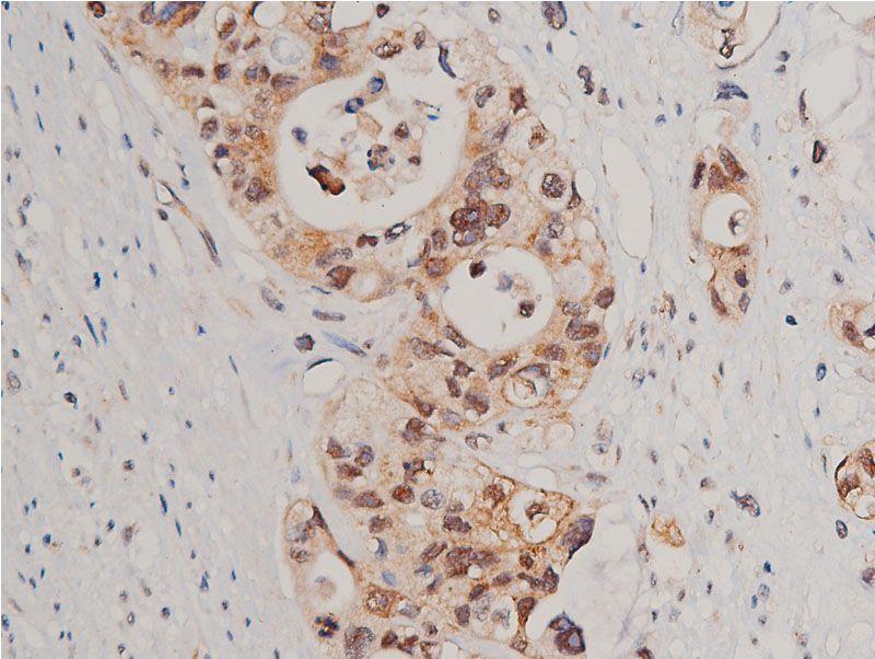 Phospho-Caspase 3 (Ser150) Antibody in Immunohistochemistry (Paraffin) (IHC (P))