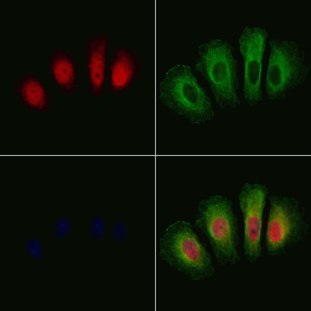 Phospho-GSK3 alpha/beta (Tyr279, Tyr216) Antibody in Immunofluorescence (IF)