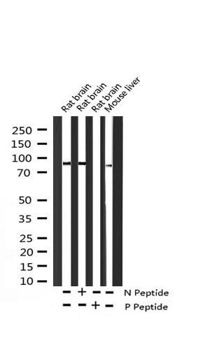 Phospho-ADAM17 (Thr735) Antibody in Western Blot (WB)