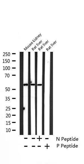 Phospho-Caspase 8 (Ser347) Antibody in Western Blot (WB)