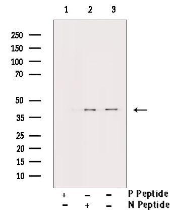 Phospho-Aurora B (Thr232) Antibody in Western Blot (WB)