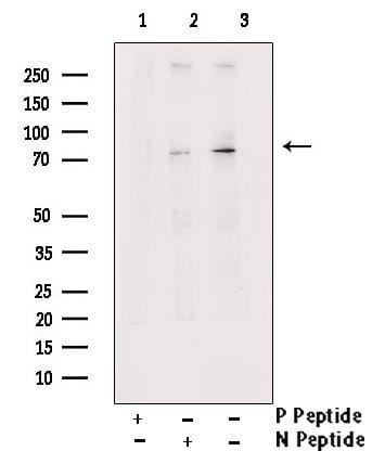 Phospho-MAP2 (Thr1620, Thr1623) Antibody in Western Blot (WB)