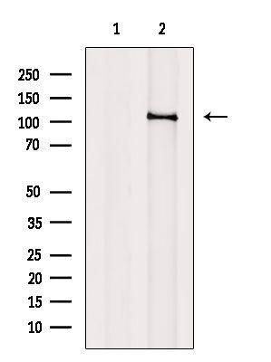 PCAF Antibody in Western Blot (WB)